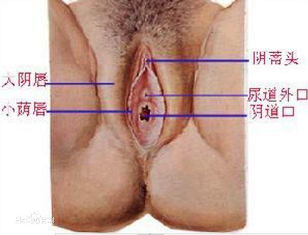 女人阴部构造(女性生殖器官图解)