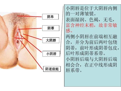 阴唇系带(女性正常的阴唇系带样子图片)