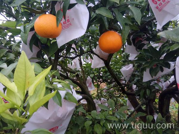 忠县柑橘网