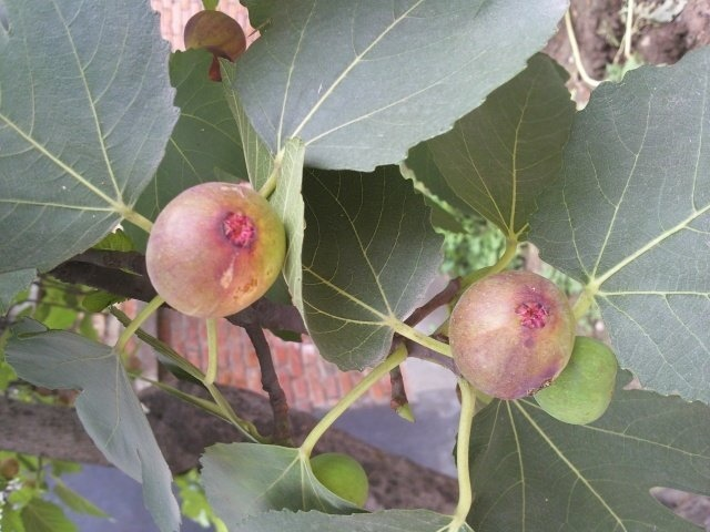 无花果是水果吗 无花果是什么季节的水果?