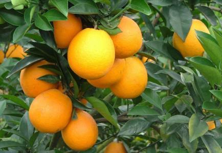 常吃脐橙有六大好处
