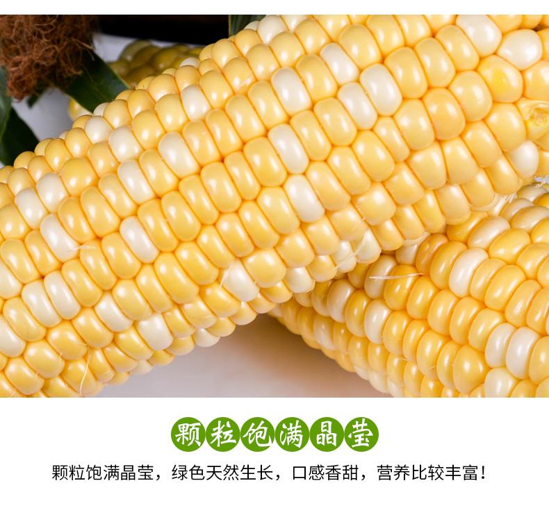 颗粒饱满的玉米