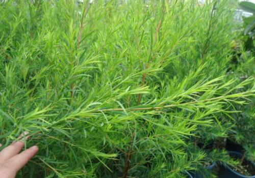 茶树精油可以祛痘消炎还能调理黑头粉刺