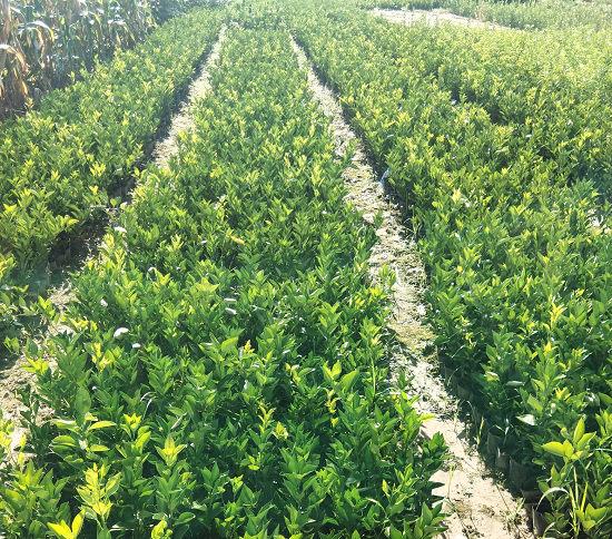 塔罗科血橙怎么种植