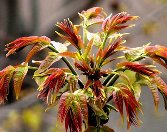 香椿树下可以种什么东西