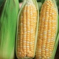(限地域重庆)5斤送5斤 现摘水果玉米新鲜带叶即食生吃  嫩甜玉米棒共10斤