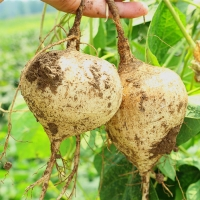 农家新鲜现挖凉薯沙葛 地梨儿 白地瓜 可生吃脆甜3斤装