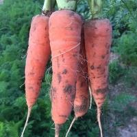 胡萝卜农家现挖  带泥新鲜水果蔬菜  红萝卜无保鲜剂生吃榨汁营养5斤