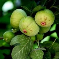 无花果是什么哪里有卖,重庆特产新鲜无花果干品种好每天吃二三个营养健康!