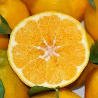 春见耙耙柑橘子新鲜超甜的当季水果整箱丑桔柑丑八怪果子
