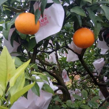 爱媛橙染色