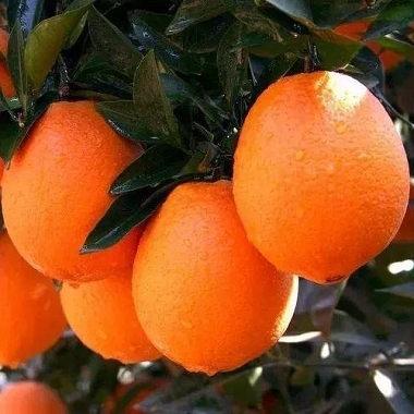 忠橙公共品牌的意义,忠橙有哪些品种?