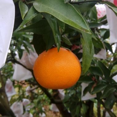红美人柑橘与爱媛38号6