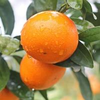 沃桔 新鲜水果柑橘皮薄多汁鲜嫩爽口营养价值高20斤装