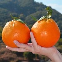 春见柑橘新品 网红热门新鲜水果品种一吃忘不掉10斤